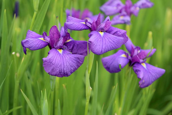 愛知県の花 カキツバタ