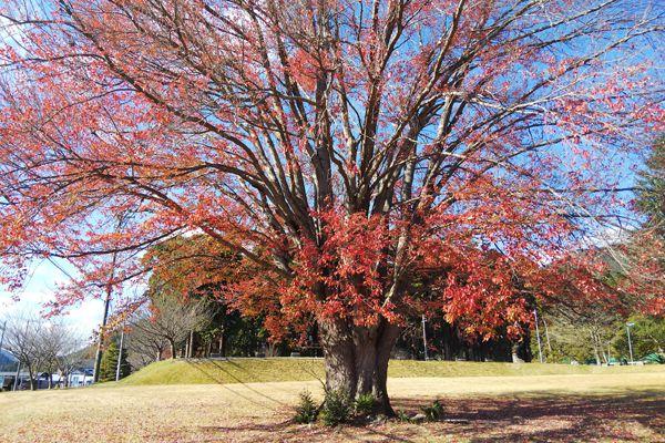 愛知県の木 ハナノキ