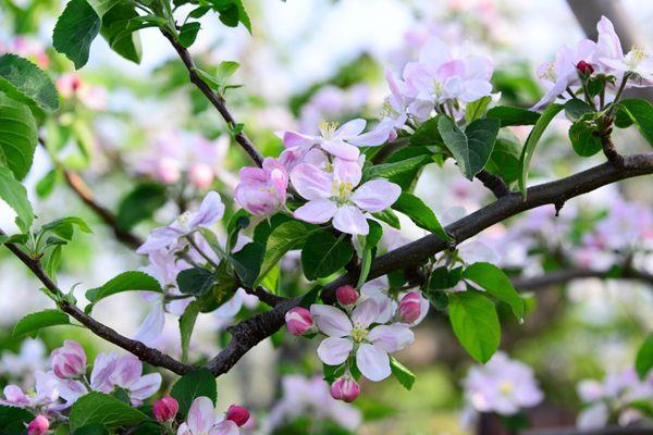 青森県の花 リンゴの花