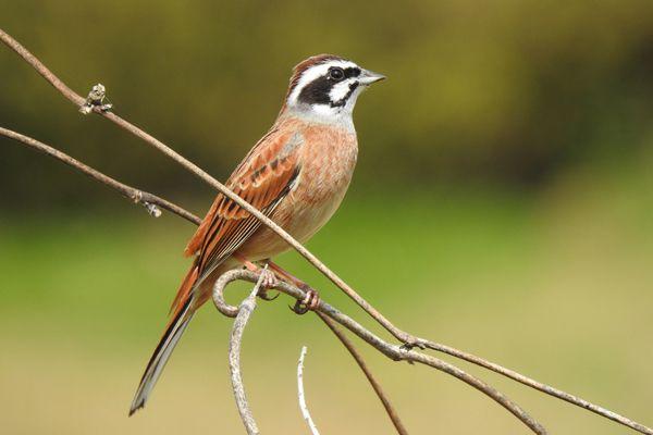 千葉県の鳥 ホオジロ