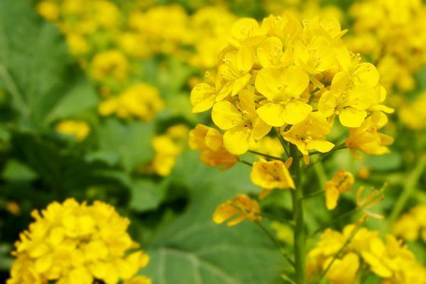 千葉県の花 菜の花