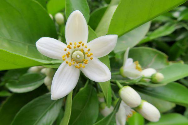 愛媛県の花 みかんの花