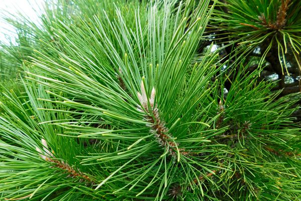 愛媛県の木 マツ