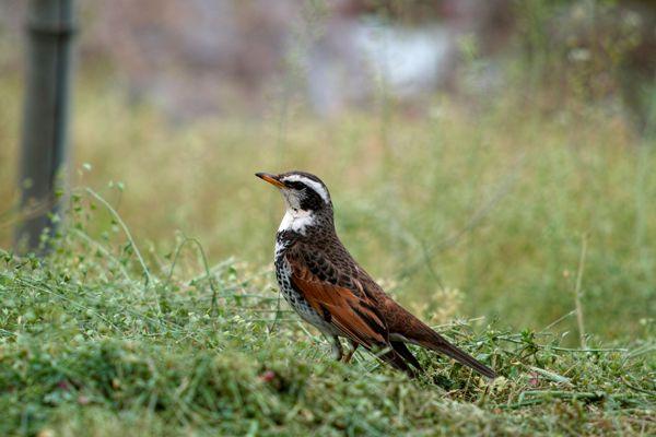 福井県の鳥 ツグミ