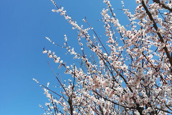 福岡県の花 ウメ