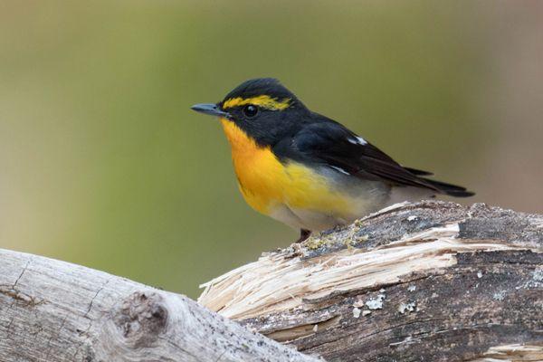 福島県の鳥 キビタキ