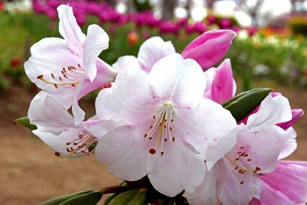 福島県の花 ネモトシャクナゲ