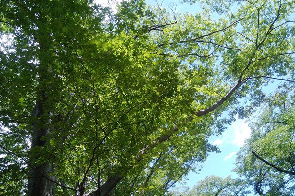 福島県の木 ケヤキ