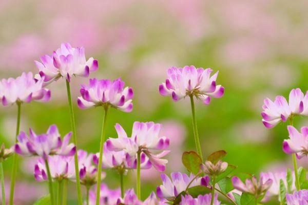 岐阜県の花 レンゲソウ