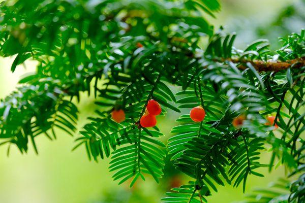 岐阜県の木 イチイ