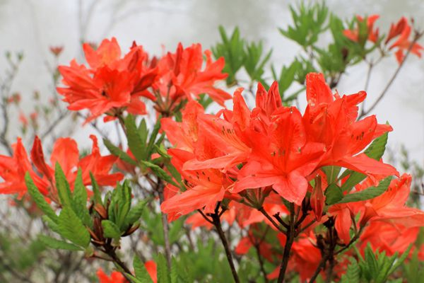 群馬県の花 レンゲツツジ