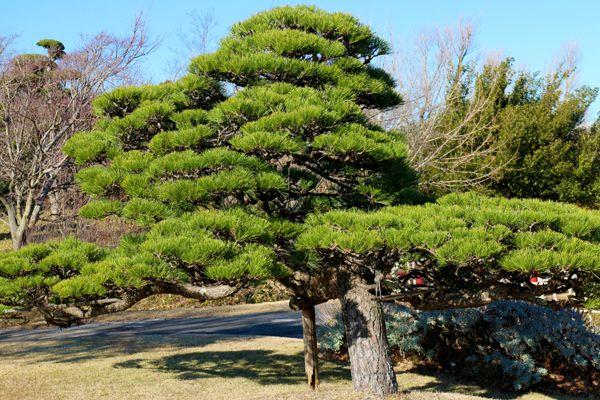 群馬県の木 クロマツ