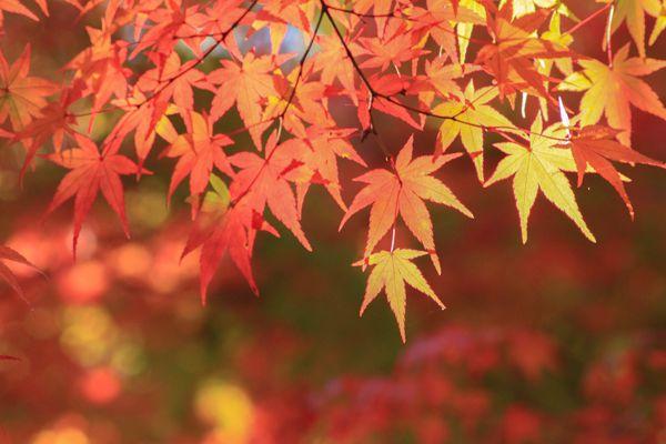 広島県の花 モミジ