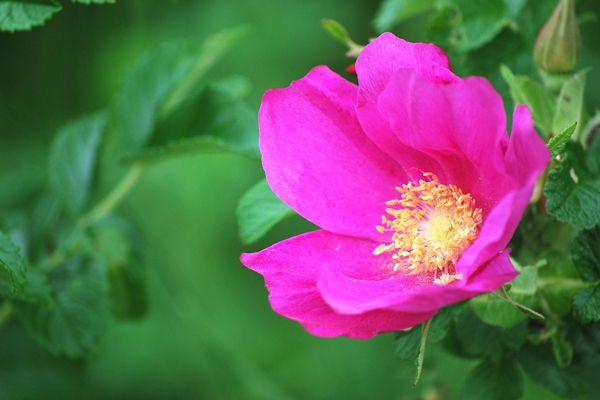 北海道の花 ハマナス