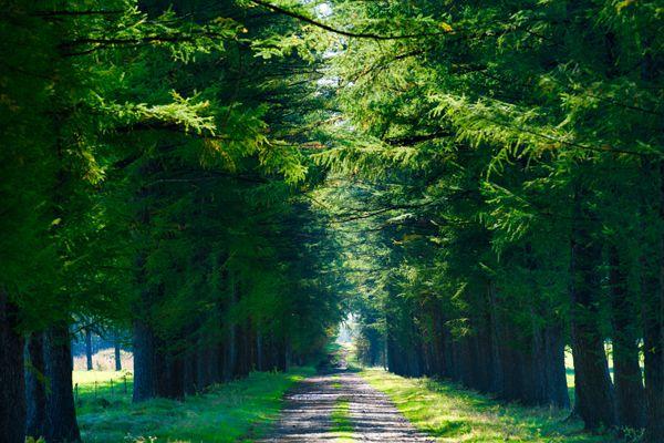 北海道の木 エゾマツ