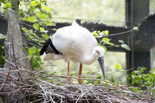 兵庫県の鳥 コウノトリ