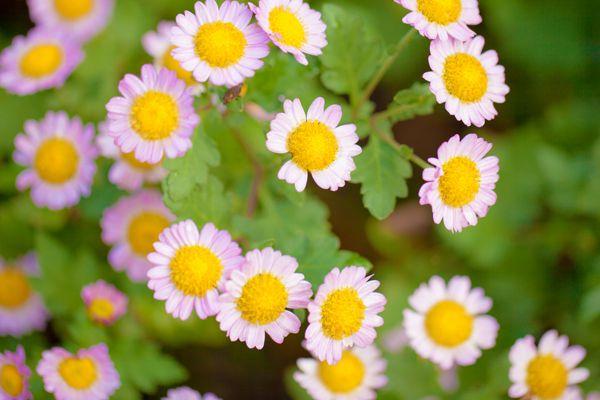 兵庫県の花 ノジギク