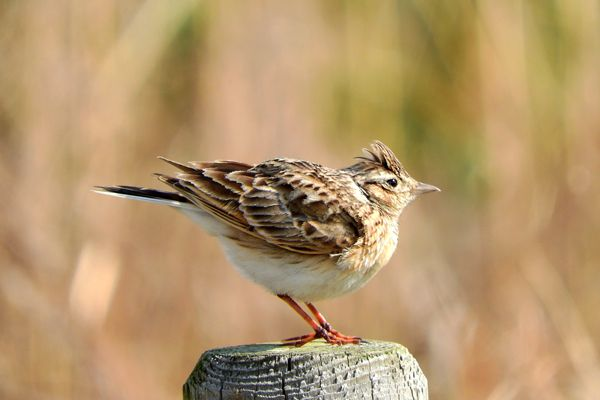 茨城県の鳥 ヒバリ