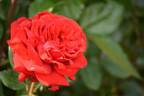 茨城県の花 バラ