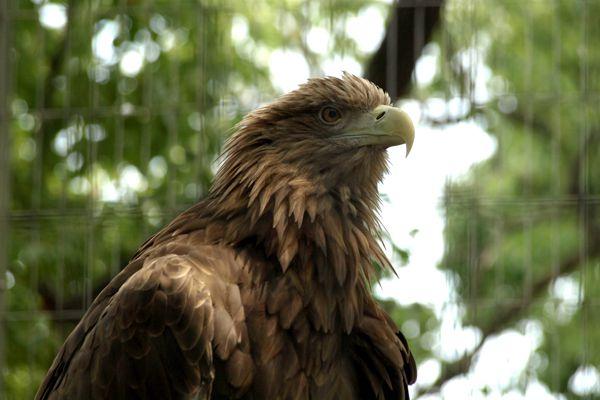 石川県の鳥 イヌワシ