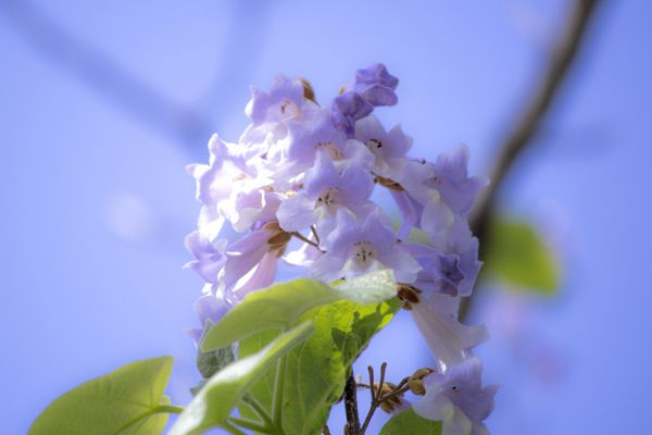 岩手県の花 キリ