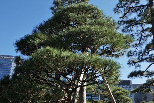 岩手県の木 ナンブアカマツ