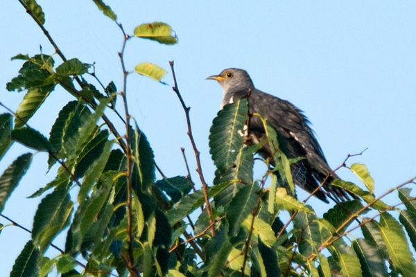 香川県の鳥 ホトトギス