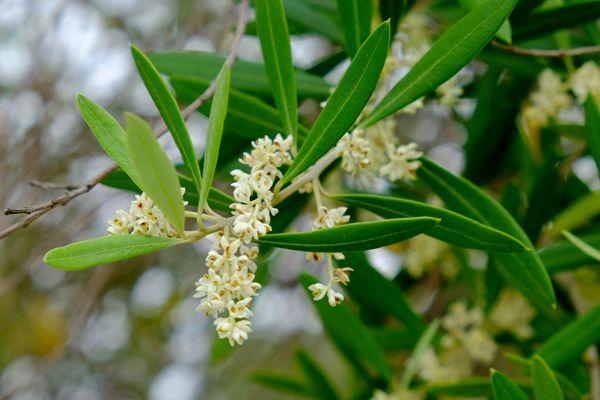 香川県の花 オリーブ