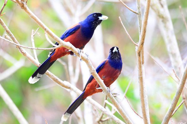 鹿児島県の鳥 ルリカケス