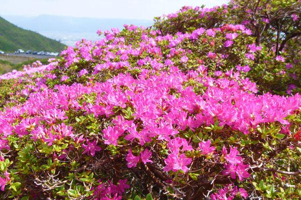 鹿児島県の花 ミヤマキリシマ