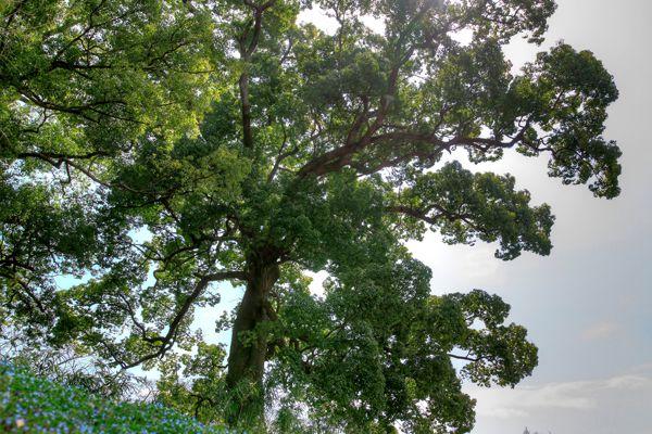 鹿児島県の木 クスノキ
