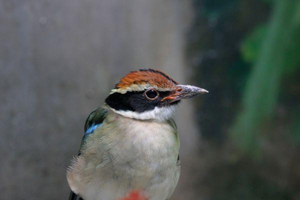 高知県の鳥 ヤイロチョウ