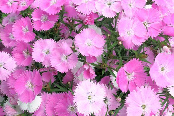 京都府の花 ナデシコ