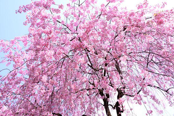京都府の花 しだれ桜