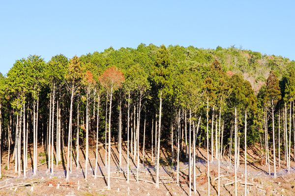 京都府の木 北山杉