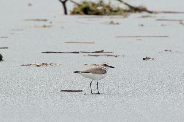 三重県の鳥 シロチドリ