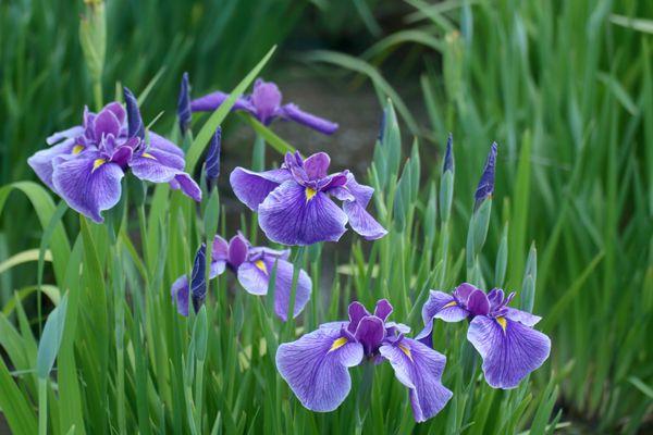 三重県の花 ハナショウブ