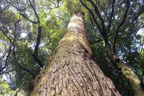 三重県の木 神宮杉