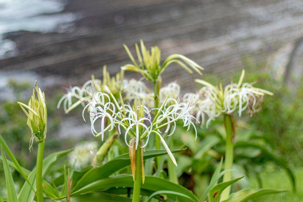 宮崎県の花 ハマユウ