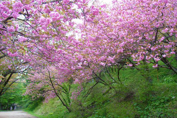宮崎県の木 ヤマザクラ