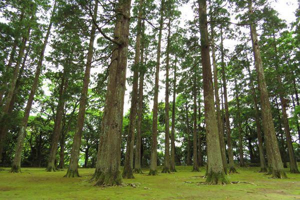 宮崎県の木 オビスギ
