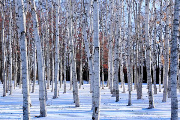 長野県の木 白樺