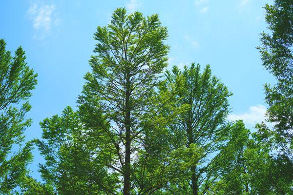 長崎県の木 ヒノキ