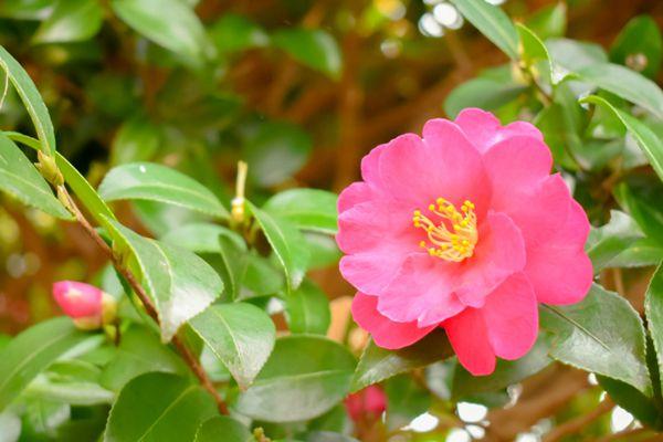 長崎県の木 ツバキ