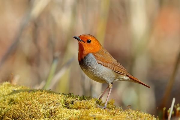 奈良県の鳥 コマドリ