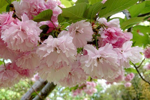 奈良県の花 ナラヤエザクラ
