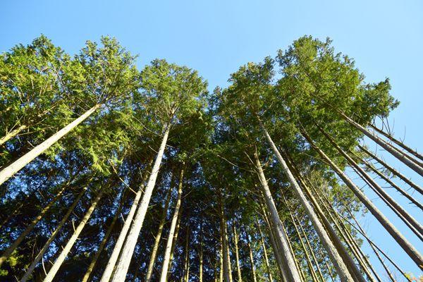 奈良県の木 スギ