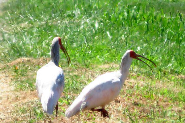新潟県の鳥 トキ