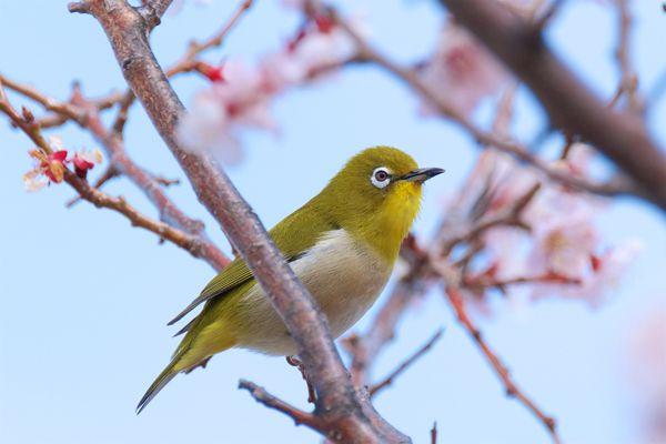 大分県の鳥 メジロ
