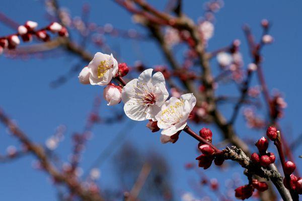 大分県の花 豊後梅